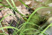 A green frog sunning himself on a piece of wood in a pond. poster
