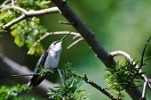 Ruby-Throated Hummingbird Perched in a Tree Looking for Trouble poster
