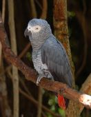 The Congo African Grey Parrot (Psittacus erithacus) endemic to rainforest of West and Central Africa and is one of the most intelligent birds. poster