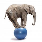African elephant (Loxodonta africana) balancing on a blue ball. poster