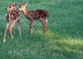 Baby deer (fawns) playing together in the grass poster