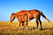 Horse Mare with Foal mother and baby Farm Animal on field with blue sky on background saving nature ecology concept poster