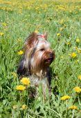 cute yorkshire terrier in field amongst dandelion poster