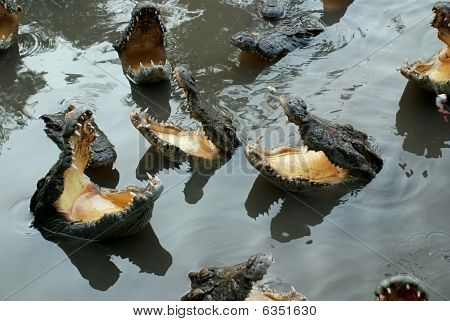Hungry Crocodiles