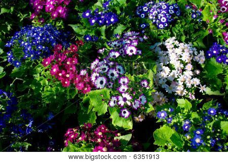 Flowers Background - Cineraria Cruenta