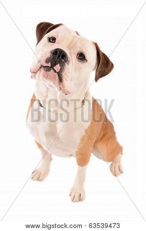Old English Bulldog Sitting On White Background