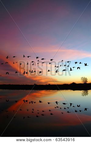 Flying Wild Geese And A Red Sunset