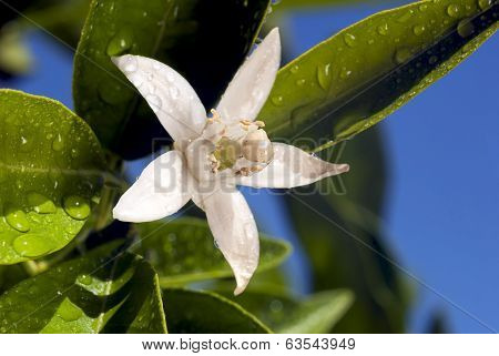 Orange Blossom Macro