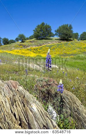 Lupines, California Poppies, And Oak Trees