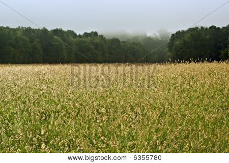 GRASS FIELD WITH SEED HEADS