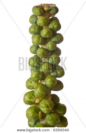 Brussel Sprouts on a Stalk
