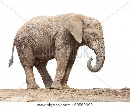 African elephant (Loxodonta africana) female on a white background.