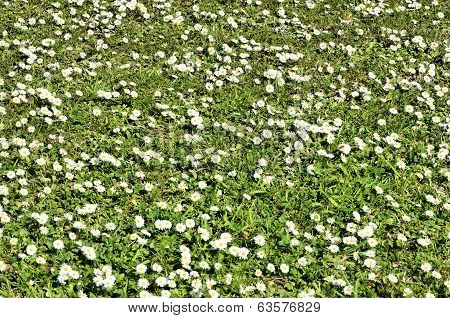 White wild flowers and green grass