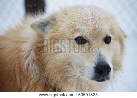 Portrait Of A Fluffy Dog In The Snow With Sad Eyes.