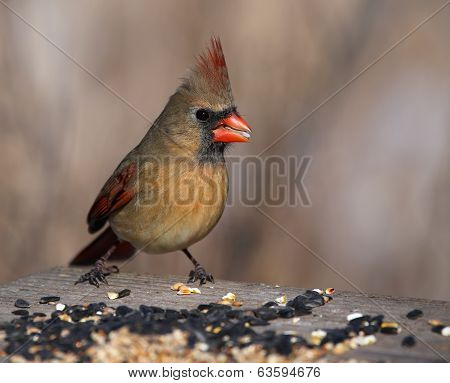 Female Cardinal on a Bird Feeder