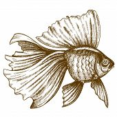 vector illustration of engraving goldfish on white background poster