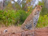 Leopard (Panthera pardus) sitting in savannah in nature reserve in South Africa poster
