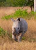 Baby calf white (square-lipped) rhinoceros (Ceratotherium simum) walking in the nature reserve in South Africa poster