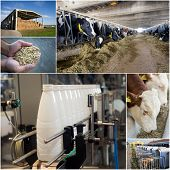 Collage of dairy industry process from feeding till packaging poster