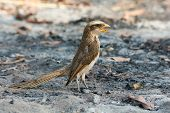 A Yellow-billed shrike (Corvinella corvina) standing in ashes with its mouth wide open poster