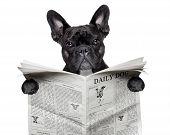black french bulldog reading a big newspaper poster