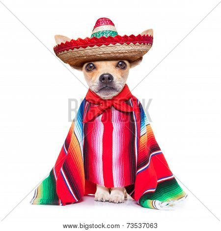 Maxican Chihuahua