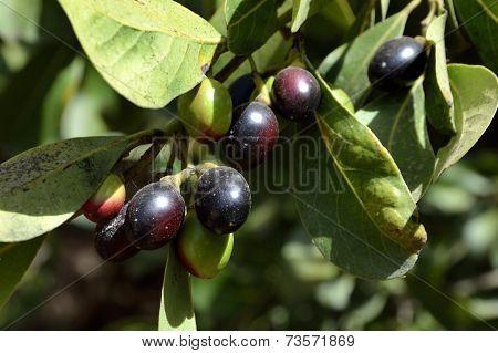 Natural Olive Branch.