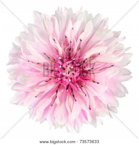 Pink Cornflower Flower Isolated On White Background