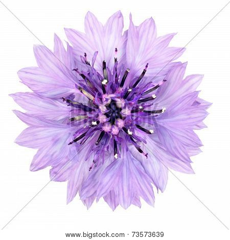 Purple Cornflower Flower Isolated On White Background