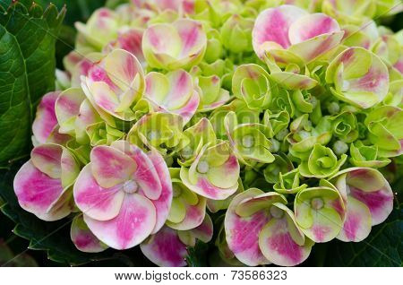 Pink Hydrangea Blooming