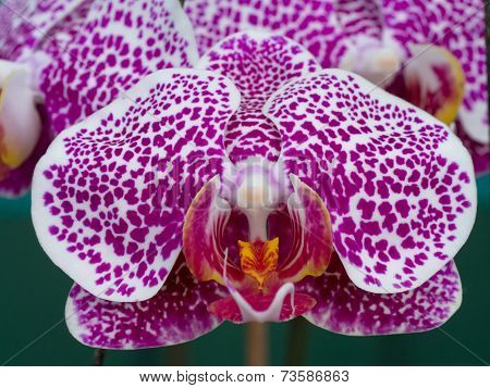 Close-up Phalaenopsis Orchid