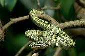 Wagler's Pit Viper snake on branch and foilage background poster