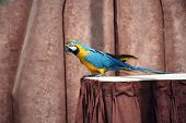 Blue and gold macaw on a table poster