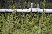 An Alaskan moose standing under the pipeline poster