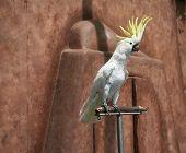 Umbrella cockatoo standing on a perch poster