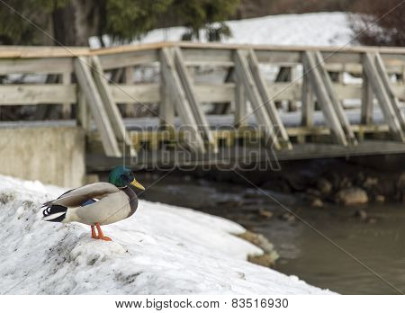 Duck In Snow By Bridge