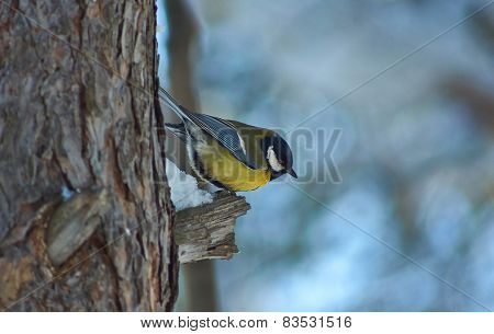 Tomtit On A Tree In Winter Forest.