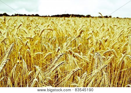 Triticum wheat field