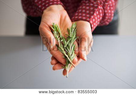 Closeup On Young Housewife Showing Fresh Rosmarinus