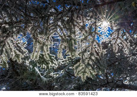 Fraser Fir trees covered in snow