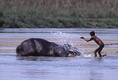 Young Mahout Washing Elephant in River poster
