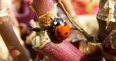 nice detail of lady bug sitting on purple plant poster
