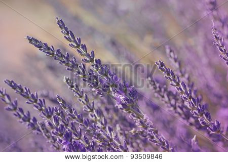 Lavender flower in a field, close up