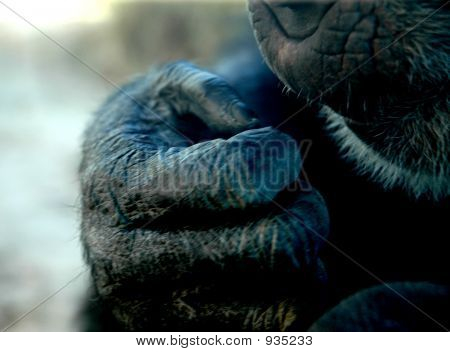close up of an ape hand at the rio grande zoo in albuquerque nm poster