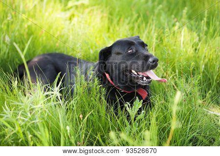 Black Labrador Retriever Dog Laying On Grass