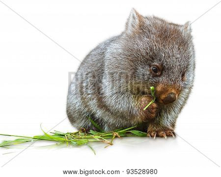 Wombat eating