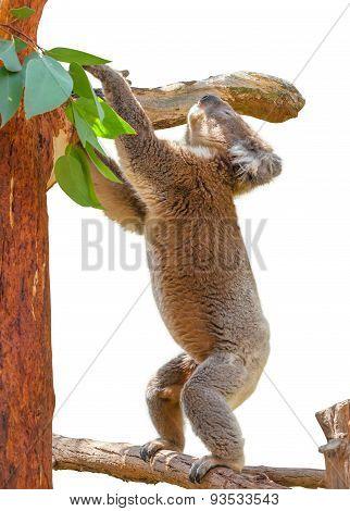 Koala on Eucalyptus
