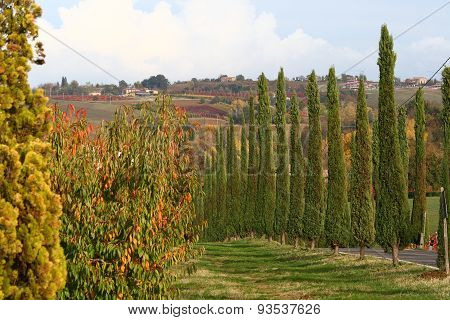 Road Of Cypresses