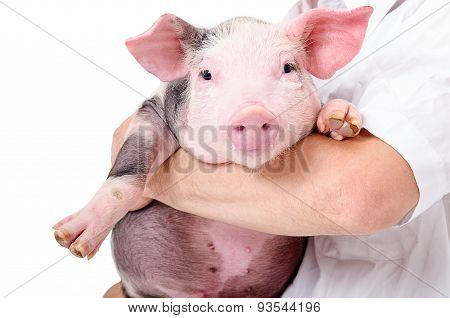 Portrait of a cute little pig on hands at the vet