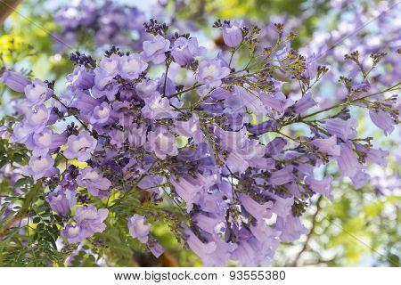 Jacaranda Tree Flowers